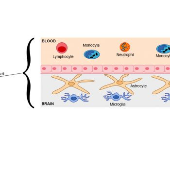 What Is the Blood-Brain Barrier?