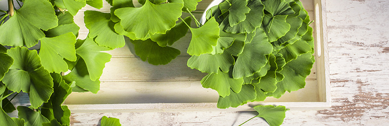 The Many Health Benefits of Ginkgo Biloba
