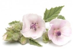 Marshmallow (Althaea)